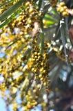 Drachenbaum im Park Rothschild in Zichron Yaakov Stockfotos