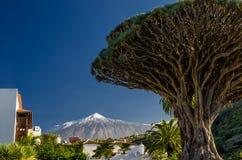 Drachenbaum und Teide Stockfoto