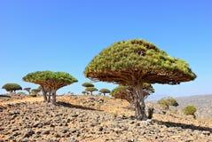 Drachenblut-Baum stockbild