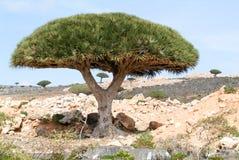 Drachenblut-Baum in der Insel von Socotra lizenzfreies stockbild