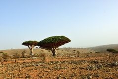 Drachenblutbäume, Socotra, der Jemen lizenzfreie stockbilder