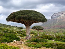 Drachenblutbaum stockbild