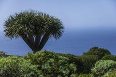 Draco de Dracaena à la La Palma d'île Images libres de droits