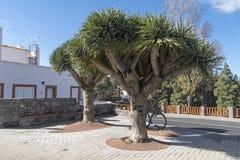 Draco Drago ou Dragon Tree do Dracaena em Gran Canaria fotografia de stock