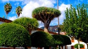 Draco för Dracaena för draketräd i Arucas stadmitt av Gran Canar royaltyfri foto
