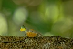 Draco volans, the common flying dragon on the tree in Tangkoko National Park, Sulawesi, is a species of lizard endemic to. Southeast Asia. lizard in wild nature stock photography