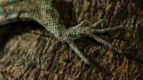 Draco volans, the common flying lizard`s legs stock images