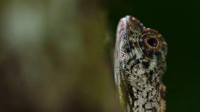 Draco volans pospolita latająca jaszczurka, są gatunki endemiczni Azja Południowo-Wschodnia jaszczurka zdjęcie royalty free
