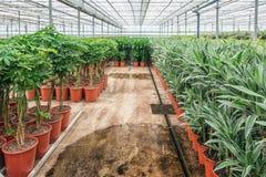 Draconias och andra houseplants som är fullvuxen i ett växthus I Arkivbilder