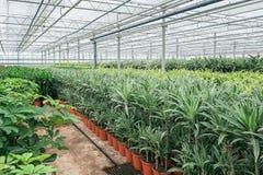 Draconias och andra houseplants som är fullvuxen i ett växthus I Arkivbild