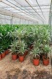 Draconias och andra houseplants som är fullvuxen i ett växthus I Royaltyfria Foton