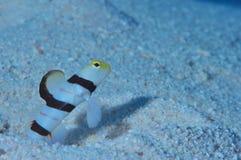 Free Dracula Shrimp-goby Royalty Free Stock Photography - 73089417