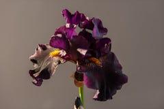 Draculas-Kuss-Blütenblühen Offenes Blumenblatt der schönen Frühlingsblume Weiß mit purpurroter Randirisblüte Lizenzfreie Stockfotografie
