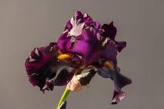 Draculas-Kuss-Blütenblühen Offenes Blumenblatt der schönen Frühlingsblume Weiß mit purpurroter Randirisblüte Lizenzfreies Stockfoto
