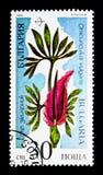 Dracunculus vulgaris, serie pericoloso delle piante, circa 1989 Fotografia Stock