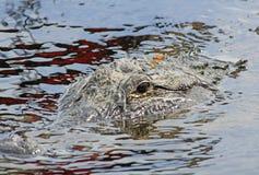 Dradonfly che si siede sulla testa dell'alligatore Fotografie Stock
