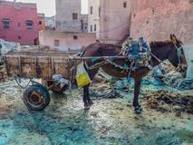 Draft donkey at tannery in Marrakech Morocco Stock Image