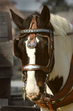 Draft Horse. In harness royalty free stock photography