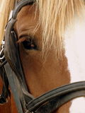 Draft horse. Close up of a draft horse in bridle with blinkers Stock Photos