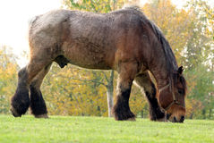 Draft horse. Flemish draft horse eating some grass stock image