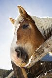 Draft horse. Stock Images