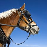Draft horse. Draft horse with blue sky in background royalty free stock photos