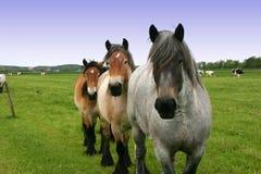 Draft Horse. Team of Draft Horse royalty free stock photos