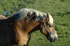 Draft Horse. A draft horse in profile royalty free stock image