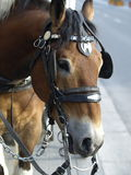 Draft horse. This draft horse is ready to pull a carriage he is a strong gentle soul Royalty Free Stock Photo