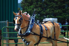 Draft Horse Stock Photography