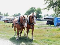Draft Horse Duo. Being walked to the arena at a show stock image
