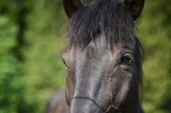 Draft horse. Finnish draft horse at summer day royalty free stock images