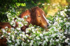 Draft horse in flowers. Red draft horse close up portrait in blossom tree royalty free stock photography