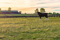 Draft horse gelding on a horse farm. Draft horse standing in a pasture with a horse barn in the background taken during golden hour Royalty Free Stock Photos