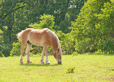 Draft horse grazing in green spring pasture Royalty Free Stock Photography