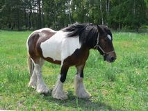 Draft Horse in green pasture Stock Photography