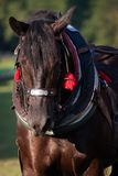 Draft horse in harness Royalty Free Stock Photos