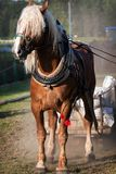 Draft horse in harness. Big draft horse in harness royalty free stock images