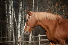 Draft Horse In Autumn Royalty Free Stock Photos