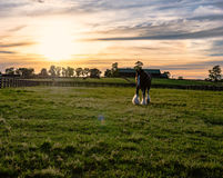 Draft horse on a Kentucky horse farm. Draft horse in a pasture on a Kentucky horse farm with sun flare at sunset royalty free stock photography