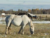 Draft Horse Royalty Free Stock Image
