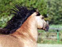 Draft horse with long mane Royalty Free Stock Image