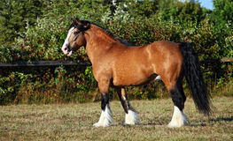 Draft horse on the meadow in evening down. Heavy draft horse in evening farm Stock Images