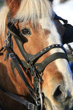 Draft horse portrait. Royalty Free Stock Images
