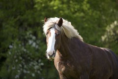 Draft Horse portrait in forest royalty free stock photography