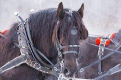 Draft horse portrait Stock Image