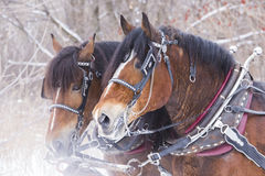 Draft horse portrait Royalty Free Stock Images