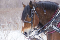 Draft horse portrait in winter Stock Image