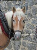 Draft horse ready to pull. Draft horse ready to go Stock Photo