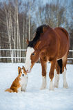 Draft horse and red border collie dog Stock Image
